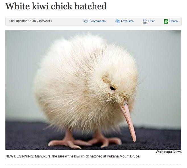 Kiwi White White Kiwi Chick Hatched